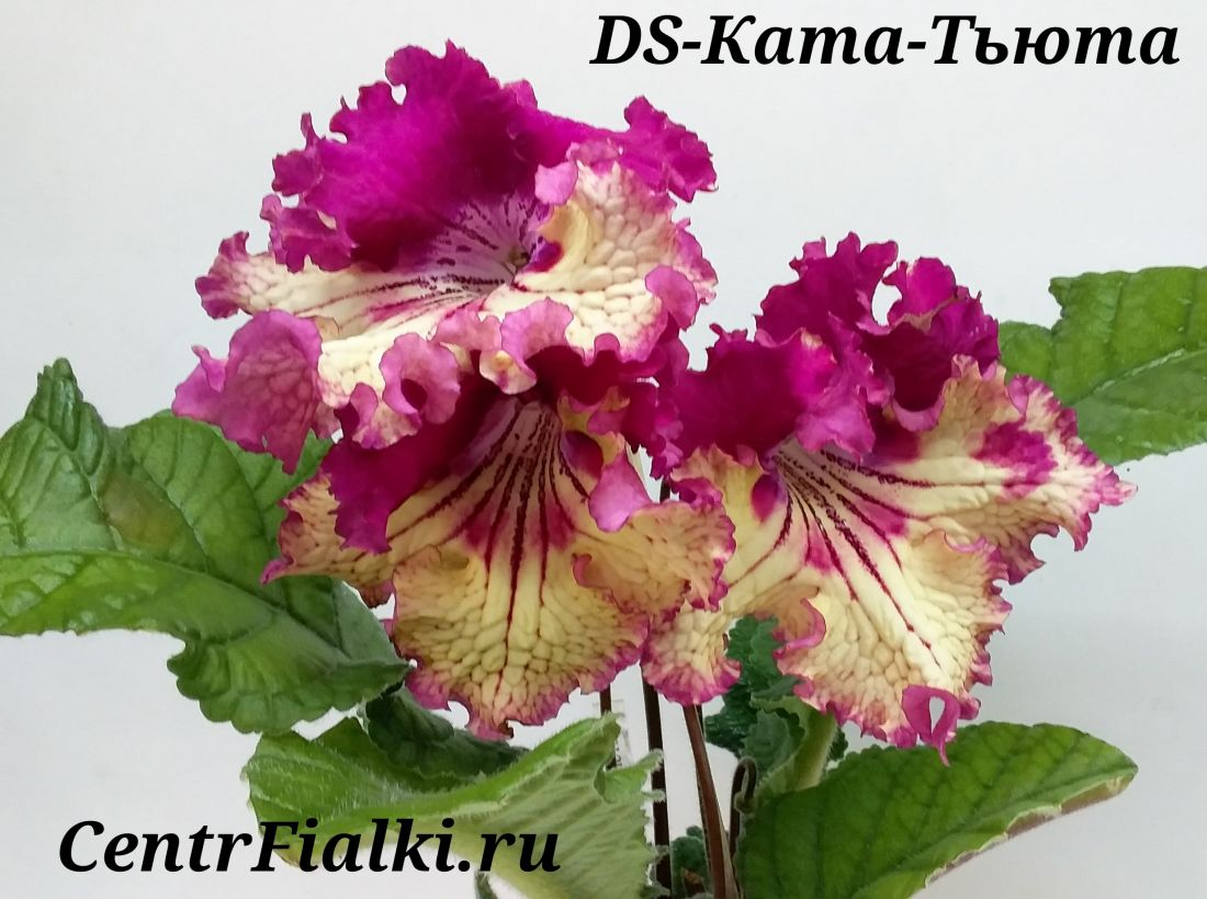 DS-Ката-Тьюта (Диметрис)