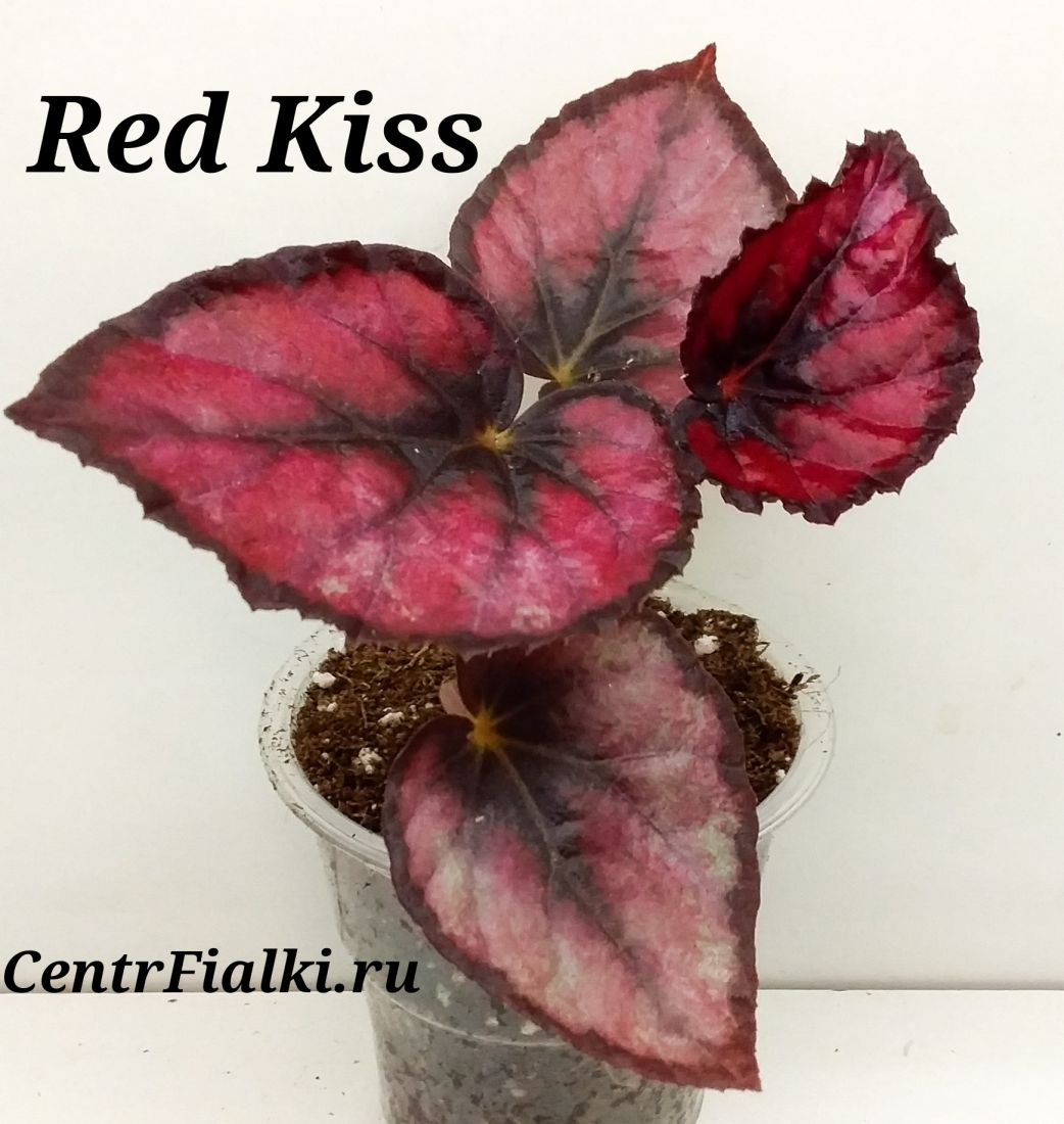 Begonia Red Kiss