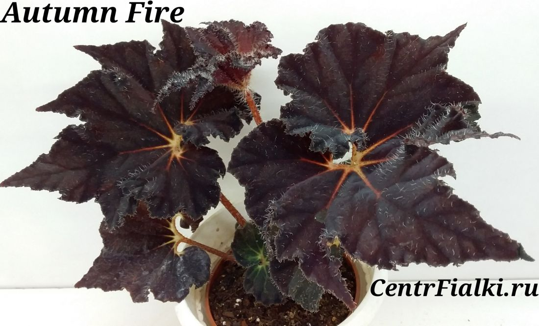 Begonia Autumn Fire