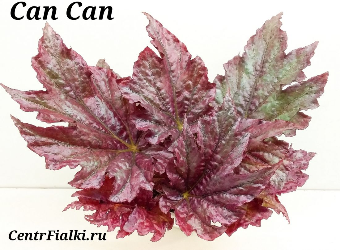 Begonia CanCan