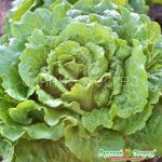 Salat-romen-Sladkij-hrust-Russkij-Ogorod