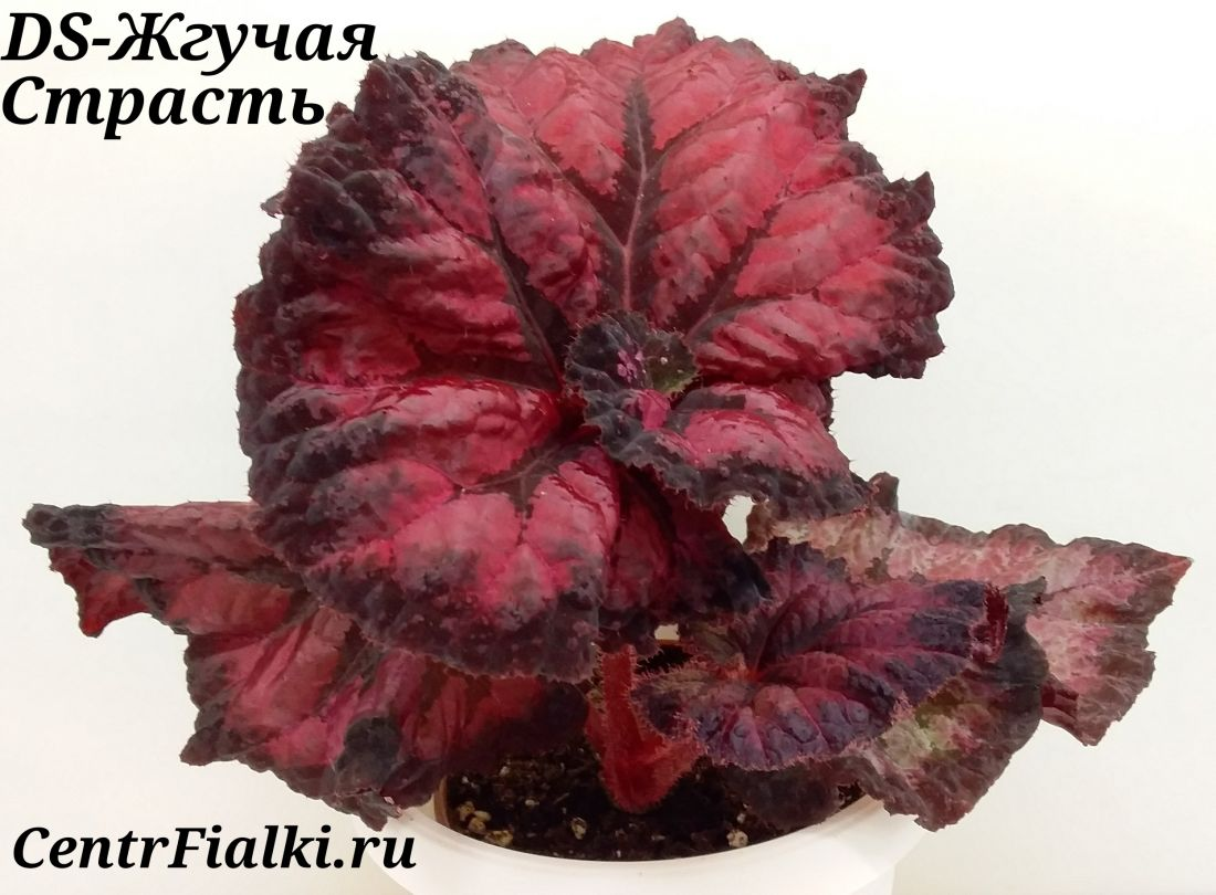 Begonia DS-Жгучая Страсть