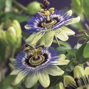 Пассифлора голубая (Passíflora caerulea) 40 семян