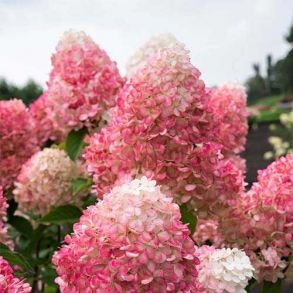 Гортензия метельчатая (Hydrangea paniculata Colorful Cocktail) Трей MP84