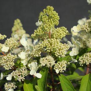 Гортензия метельчатая (Hydrangea paniculata Magical Himalaya) ОКС 4/6 веток NEW