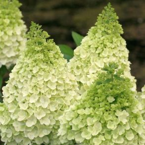Гортензия метельчатая (Hydrangea paniculata Magical Killimanjaro) ОКС 3/4 ветки NEW