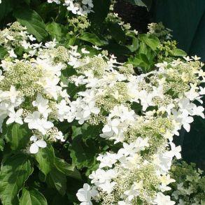 Гортензия метельчатая (Hydrangea paniculata Magical Starlight) ОКС 2/3 ветки