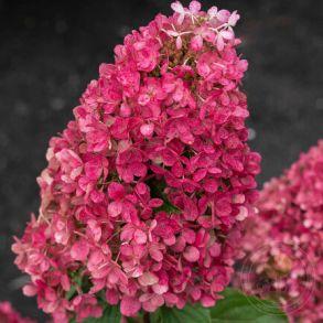 Гортензия метельчатая (Hydrangea paniculata Raspberry Pink) Трей MP84