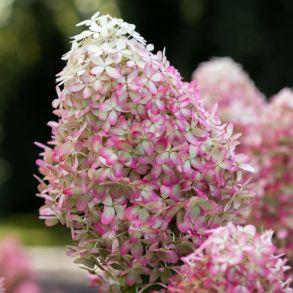 Гортензия метельчатая (Hydrangea paniculata Royal Flower) Трей MP84 ку
