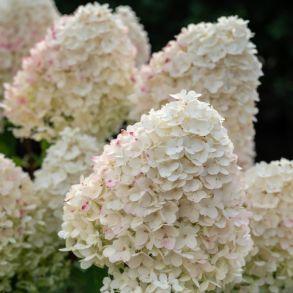 Гортензия метельчатая (Hydrangea paniculata Sugar Rush) Трей MP84