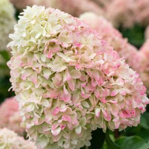 Гортензия метельчатая (Hydrangea paniculata Summer Love) ОКС 2/3 ветки NEW 2019