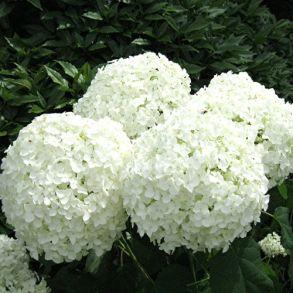 Гортензия древовидная (Hydrangea arborescens `Annabelle`) С3