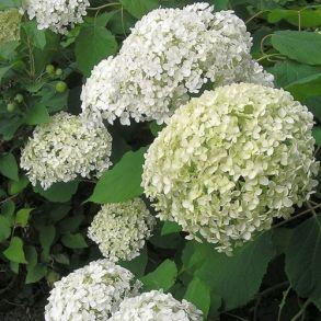 Гортензия древовидная (Hydrangea arborescens `Bounty`) С3