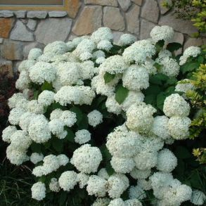 Гортензия древовидная (Hydrangea arborescens `Hill`s of Snow`) С3