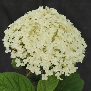Гортензия древовидная (Hydrangea arborescens `White Ball`) С3
