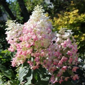 Гортензия метельчатая (Hydrangea paniculata `Angels Blush`) С3