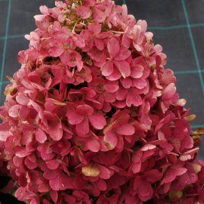 Гортензия метельчатая (Hydrangea paniculata `Candlelight`) С3
