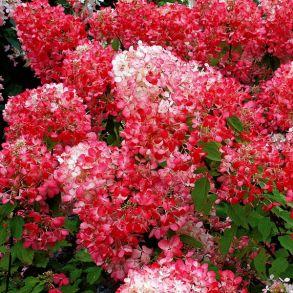 Гортензия метельчатая (Hydrangea paniculata `Diamant Rouge`) С3