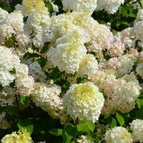 Гортензия метельчатая (Hydrangea paniculata `Diamantino`) С3