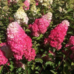 Гортензия метельчатая (Hydrangea paniculata `Fraise Melba`) С3