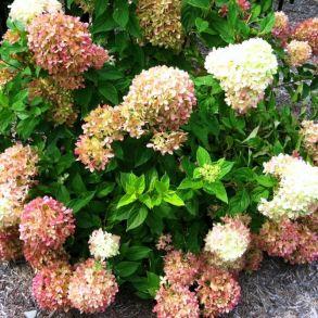 Гортензия метельчатая (Hydrangea paniculata `Perle de Festival`) С3
