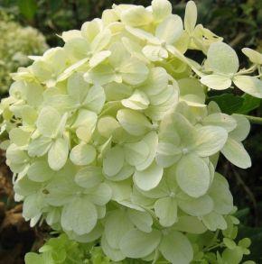 Гортензия метельчатая (Hydrangea paniculata `Perle d`Automne`) С3