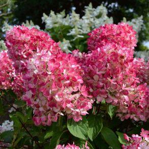 Гортензия метельчатая (Hydrangea paniculata `Pink Diamond`) С3