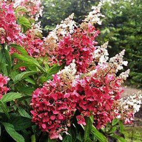Гортензия метельчатая (Hydrangea paniculata `Pinky Winky`) С3