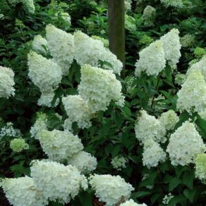 Гортензия метельчатая (Hydrangea paniculata `Polar Bear`) С3