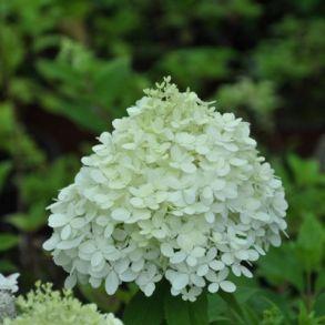 Гортензия метельчатая (Hydrangea paniculata `Selection`) С3
