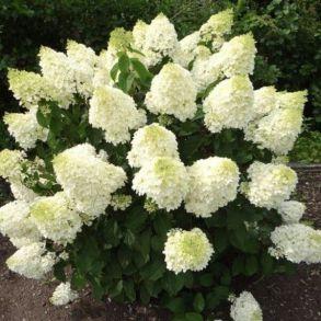 Гортензия метельчатая (Hydrangea paniculata `Silver Dollar`) С3