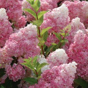 Гортензия метельчатая (Hydrangea paniculata `Sundae Fraise`) С3