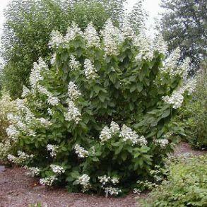 Гортензия метельчатая (Hydrangea paniculata `Tardiva`) С3
