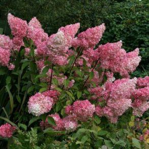 Гортензия метельчатая (Hydrangea paniculata `Vanille Fraise`) С3