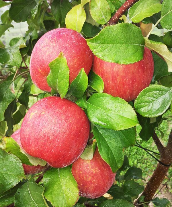 Яблоня, сорт Фуджи Кику 8