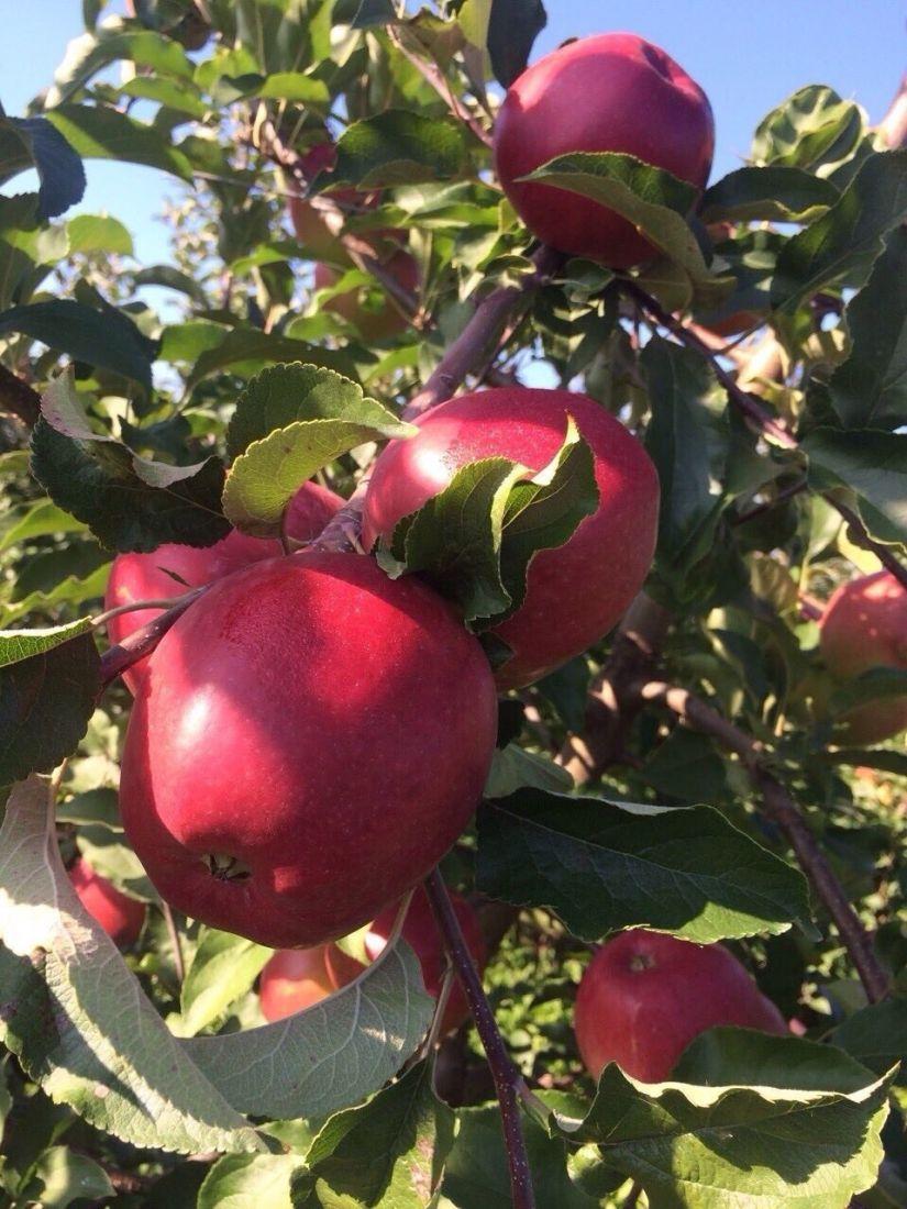Яблоня, сорт Моди