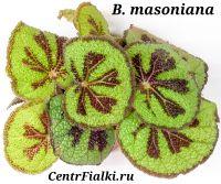 Бегония Мэсона masoniana