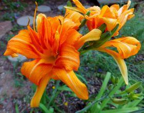 Лилейник Дабл Оранж (Hemerocallis Double Orange)