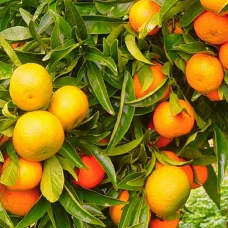 Клементин Корсика 2 - Clementine Corsica 2