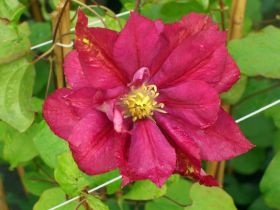 Клематис Ред Стар (Clematis Red star)