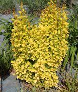 Барбарис Тунберга Голден Торч (Berberis thunbergii Golden Torch)