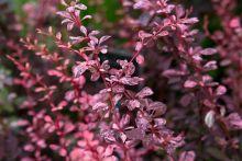 Барбарис тунберга Пинк Этрекшн (Berberis thunbergii Pink Attraction)