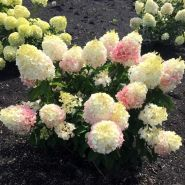Гортензия метельчатая Литтл Блоссом (Hydrangea paniculata Little Blossom)