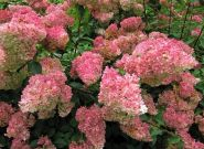 Гортензия метельчатая Строуберри Блоссом (Hydrangea paniculata Strawberry Blossom)