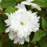 Чубушник Букет Блан (Philadelphus Bouquet Blanc)