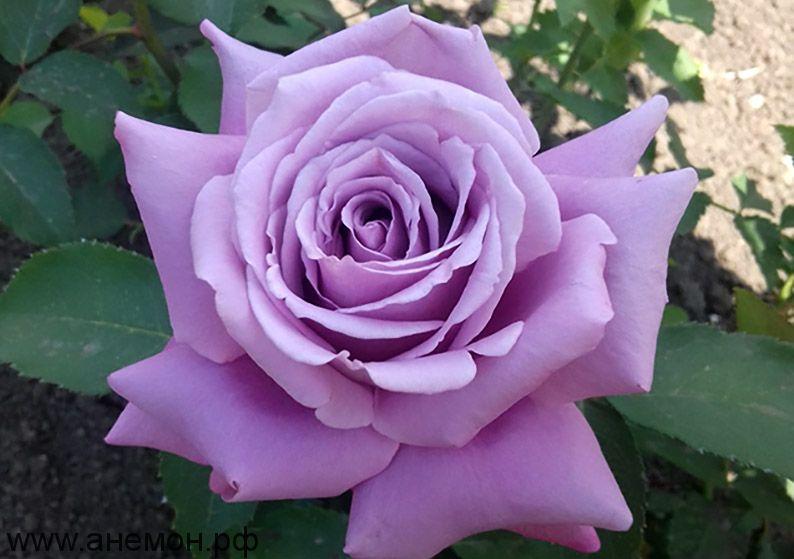 """Роза  чайно-гибридная """"Зи-Си"""""""