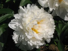 Пион Боул оф Крим (Paeonia Bowl of Cream)