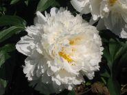 Пион Боул оф Крим (Paeonia Bowl of Cream)