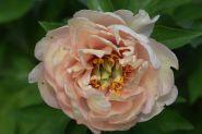 Пион Ито Кенери Брилиантс (Paeonia Itoh Canary Brilliants)