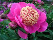 Пион Дорин (Paeonia Doreen)